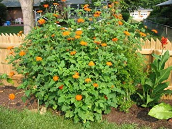 Farmerly 100+Mexican Sunflower Seeds Hummingbirds Butterflies Bees Garden/Patio Container -