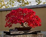 Bonsai Plant Japanese Red Mapple Bonsai Seeds (Pack Of 5) For Indian Climate-by Creative Farmer