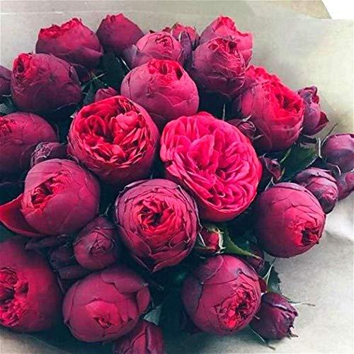 Anitra Perkins - 10 stücke Pfingstrose Samen duftenden Blumensamen mehrjährig winterhart Rosen Seltene Ranunculus Asiatisch Blumensamen für Balkon/Terrasse, Garten Pflanzen (2)