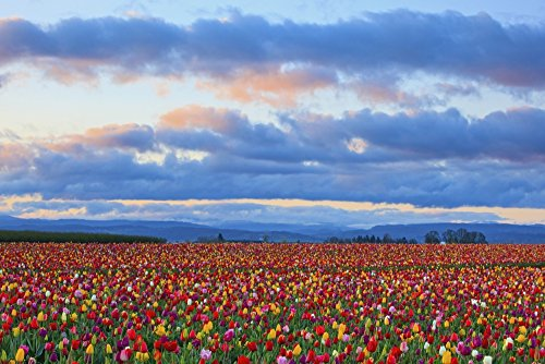 craig-tuttle-design-pics-sunrise-over-a-tulip-field-at-wooden-shoe-tulip-farm-woodburn-oregon-united