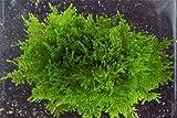 Mousse de Paon culture sur pierre de lave Taxiphyllum sp plantes vivantes
