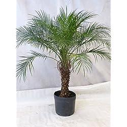 [Palmenlager] Phoenix roebelenii Zwerg-Dattelpalme 170-190 cm/Stamm 60 cm/Zimmerpalme
