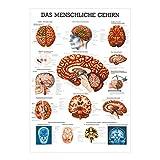 Sport-Tec Gehirn Mini-Poster Anatomie 34x24 cm medizinische Lehrmittel