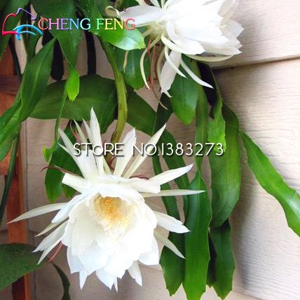 2016 50 pcs chinois Rare Epiphyllum Oxypetalum Graines Nuit Blooming Cierge du bonsaï Fleur Décoration de jardin de plantes As Show in Description As Show in Image