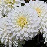 Go Garden Vente chaude 2 ampoule blanche Dahlia Bulbes Belle vivace Dahlia Bulbes à fleurs Bonsai plante bricolage jardin: 1...