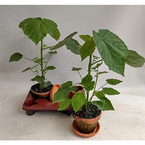 Zimmerlinde 40 cm - Sparmannia africana Zimmerpflanze