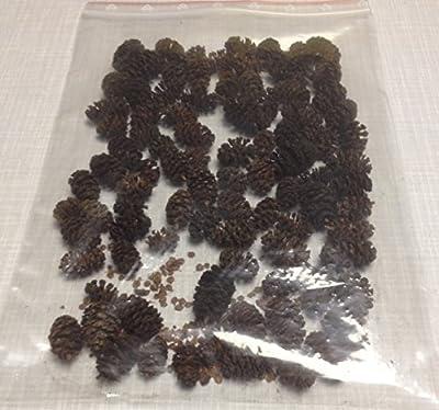 ~100 Erlenzapfen (=50g), Schwarzerle, Alnus glutinosa, black alder cones