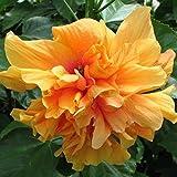 Keptei 100 Stück Hibiscus Exotic Coral Samen Seltene Blumensamen Winterhart mehrjährig Zierpflanzen Hausgarten Topf oder Garten Blume pflanzen