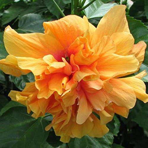 Kisshes giardino - 100 pezzi hibiscus esotico coral seeds semi di fiori rari hardy piante ornamentali perenni casa giardino vaso o giardino fiore pianta