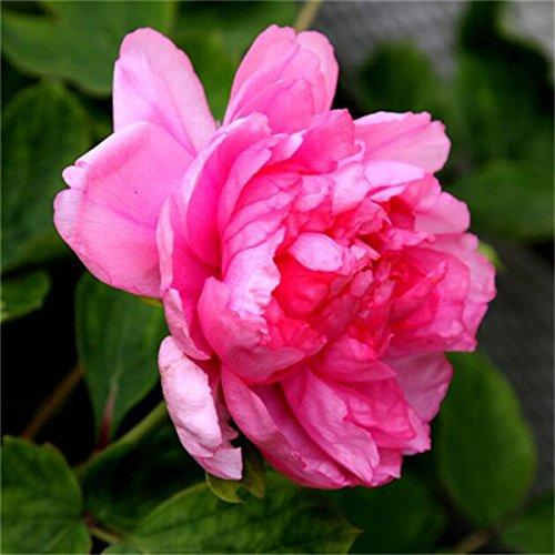 5 pièces / sac graines de pivoine, jaune, graines de fleurs de pivoine rose chinoise belles graines de bonsaï plantes en pot pour le jardin de la maison A