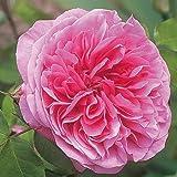 André Eve - Rosier Gertrude Jekyll Ausbord - Pot 5 Litres - Couleur : Rose