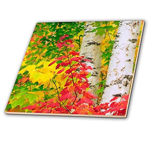 3dRose USA, New York, Adirondack Park, Herbst Farben von Birke und Ahorn Bäume–Keramik Fliesen, 20,3cm (CT 209175_ 3)