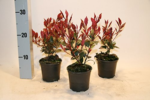 photinia-fraseri-little-red-robin-105-10-15-cm-25-st