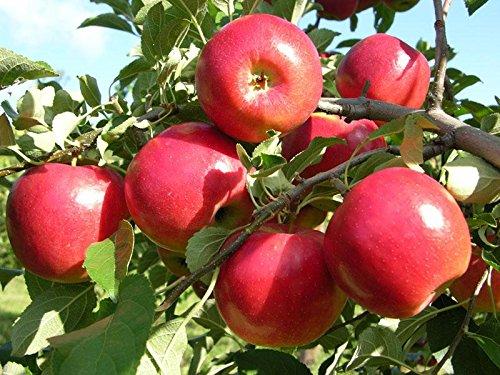 mymotto Obstsamen - 50PCS Bio rotes Fleisch Apfel Samen Mehrjährige Garten Pflanzensamen winterharte seltene Obstsamen (Bio-apfel-samen)