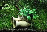 Garnelen Amphore mit Anubias Bonsai Wasserpflanze Aquarium Aquariumpflanze