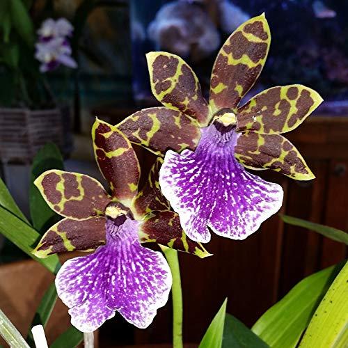 GEOPONICS x sib, planta orquídea Zygo kiwi Korker