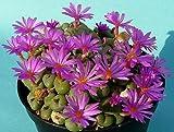 Conophytum minutum - Kegelpflanze - 10 Samen