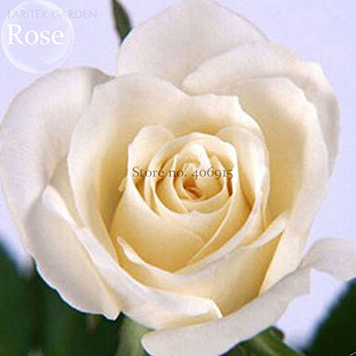 Mixed 9 Types de Rare Rose fleurs vivaces, 50 graines, Rose Noir Rouge Violet chocolat café Blue Rainbow escalade E3806