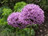 25 GIANT ALLIUM GLOBEMASTER Allium Giganteum Flower Seeds by Seedville