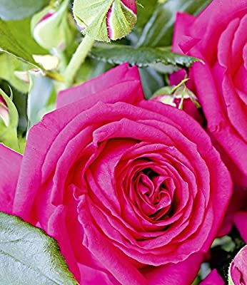 Delbard® Parfumrosen 'Regis Marcon®', 1 Pflanze Edelrose von Delbard - Du und dein Garten