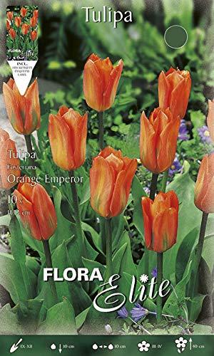 Fosteriana-Tulpe \'Orange Emperor\' orange, niedrig, Blumenzwiebeln für Herbstpflanzung