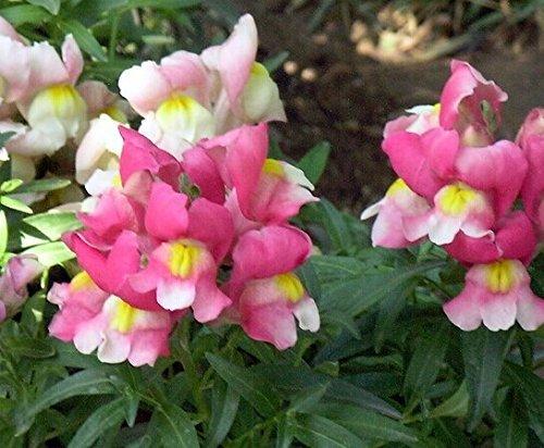 200PCS graines Antirrhinum majus fleurs colorées Jardin des plantes Accueil Bonsai