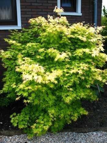 goldoranger japonais Érable du Japon Acer palmatum ORANGE DREAM 60 - 80 cm haut en 5 Litre pflanzcontainer