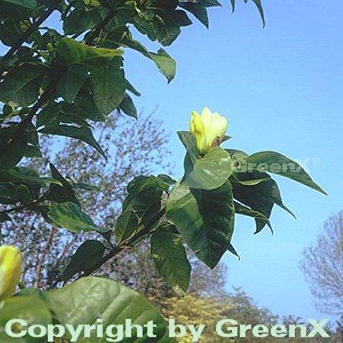 Magnolie Grünes Laub