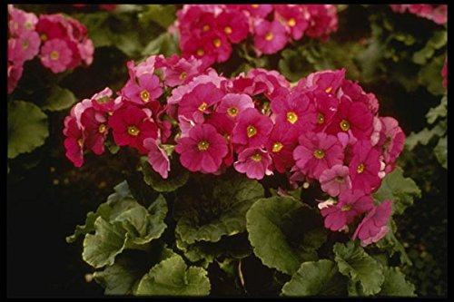 124091 Primula Obconica 'Juno Red' (German Primrose) A4 Photo Poster Print 10x8
