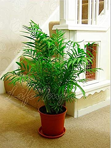 Large Traditional Evergreen House Plants - Parlour Palm Elegans