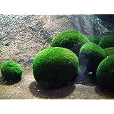 5 Moss Ball - Cladophora Aegagrophila - Plantas de acuario (4-5 cm)