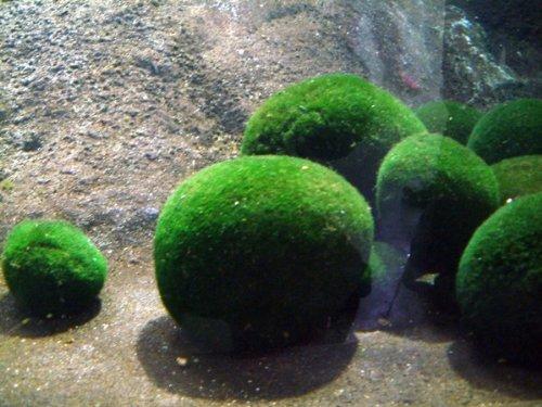 Bolas de musgo japonés