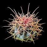 Hamatocactus hamatocanthus seeds