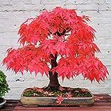 PlenTree Blumensamen aus Ahorn, Rot, römische Kunstpflanze aus Naturblumen von Bonsai in Blumentopf für das Haus, Dekoration für den Garten, Innenbereich