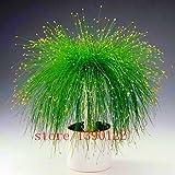 Echt chinesischen Seltene Gynostemma Samen Medizin Herb Pflanze Pentaphyllum Sementes Hof Bonsai Jiaogulan im Freien Garten-Baum