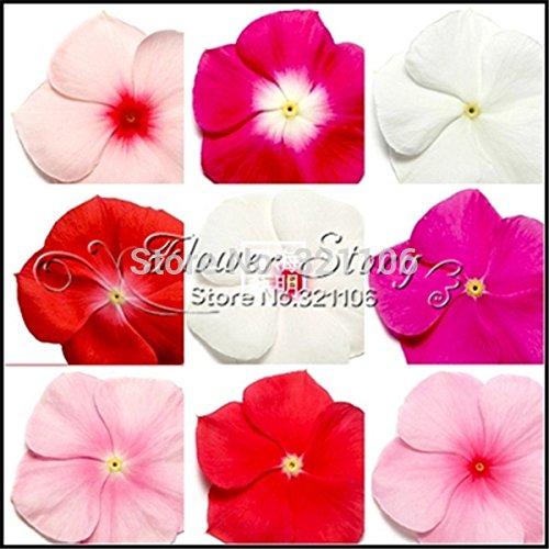 envio-20-semillas-bigaro-color-de-la-mezcla-vinca-catharanthus-roseus-una-cubierta-perfecta-banco-de