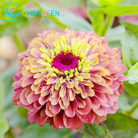 Shopmeeko Zinnia Lot de 30 Plantes de mélange de Couleurs Petites Fleurs, bonsaï, Pot de Fleurs, Fleurs, Facile de Faire des bonsaïs de Jardin Arc-en-Ciel Gris Clair