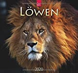 Löwen: Original Stürtz-Kalender 2020 - Mittelformat-Kalender 33 x 31 cm