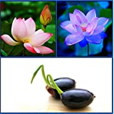 Catterpillar Farm Dwarf Indoor Lotus Seeds Combo Pack: Sacred Pink Evening Purple Lotus 10 Seeds Each