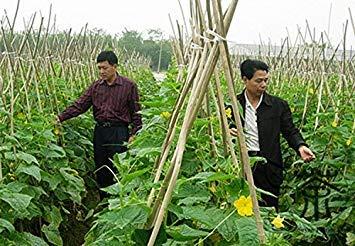 Samen 600pcs, das als Gemüsesamen, Gesundheit Herkunft der Familie Cucurbitaceae ()