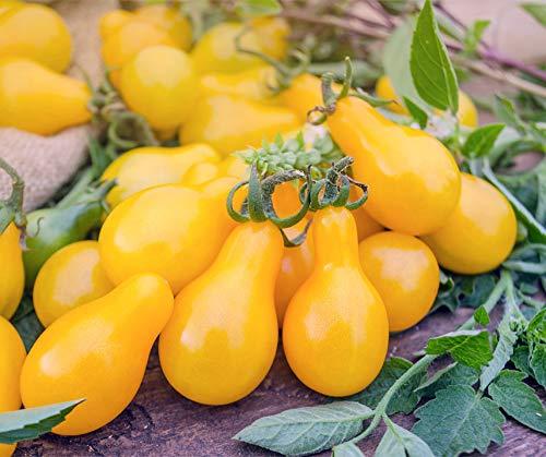 OBI gelbe Cherry-Tomate