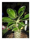 Pachypodium saundersii - madagascar palm - 5 seeds
