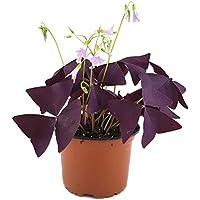 """Oxalis triangularis """"Mijke"""" - essbarer Purpur Klee - mit der typischen lila / violetten Kleeblättern - das robuste Trendgewächs 2018"""