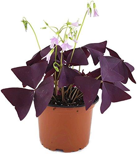 """Oxalis triangularis""""Mijke"""" - essbarer Purpur Klee - mit der typischen lila/violetten Kleeblättern - das robuste Trendgewächs 2018"""