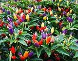 Chili Pepper Bolivian Rainbow - Regenbogenfarbige Chili - 5 Samen
