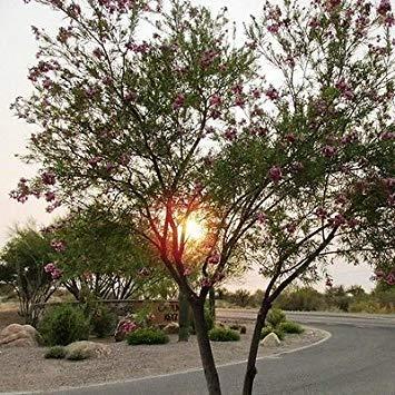 SANHOC Samen-Paket: Desert Willow Seed Seeds (Chilopsis linearis) 30 + Seeds -