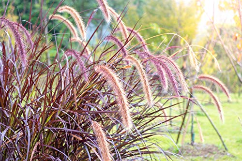 Kolbenhirse 'Red Jewel' 30 Samen, Setaria Italica, Ziergras, rot Borste Gras- schönes lila Gras