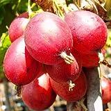 Rote Stachelbeere Captivator Hochstamm