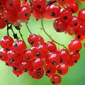 Vivai Le Georgiche Ribes Rosso Precoce