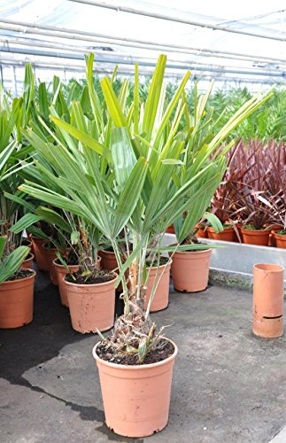 Palmenmann Nadelpalme (Rhapidophyllum hystrix) - Rhapidophyllum hystrix